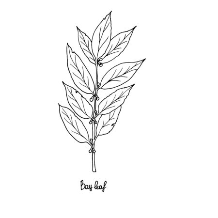 Spicy herbs are grown in the garden. Bay leaf. Vector illustration is drawn by hand. Doodle style
