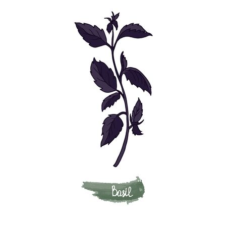 Spicy herbs are grown in the garden. Basil. Vector illustration is drawn by hand. Doodle style. Color image on a white isolated background. Vector illustration
