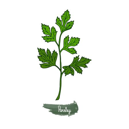 Spicy herbs are grown in the garden. Parsley. Vector illustration is drawn by hand. Doodle style. Color image on a white isolated background. Vector illustration