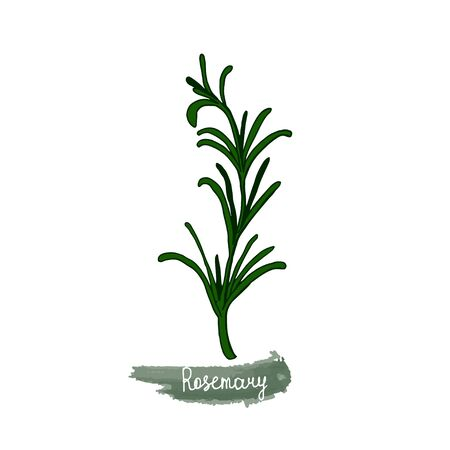 Spicy herbs are grown in the garden. Rosemary. Vector illustration is drawn by hand. Doodle style. Color image on a white isolated background. Vector illustration