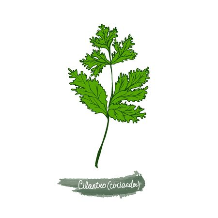 Spicy herbs are grown in the garden. Coriander. Vector illustration is drawn by hand. Doodle style. Color image on a white isolated background. Vector illustration