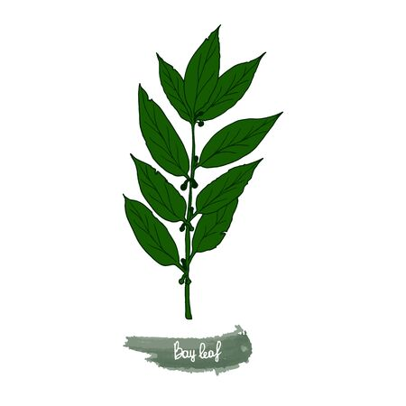 Spicy herbs are grown in the garden. Bay leaf. Vector illustration is drawn by hand. Doodle style. Color image on a white isolated background. Vector illustration