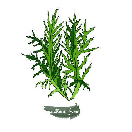 Spicy herbs. Lettuce frisee. Color image of a plant on a white isolated background. Vector illustration is drawn by hand. Doodle style.