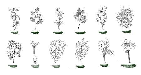A set of delicious spicy herbs for food. Vector illustration is drawn by hand. Doodle style. Color image on a white isolated background. Vector illustration Ilustracja