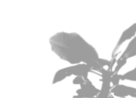 Summer plant shadow background. Shadow of the flower of happiness milkweed on the white wall. White and black for superimposing a photo or mockup. Vector