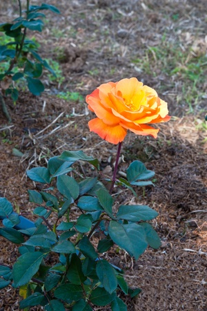 a orange rose flower in park photo