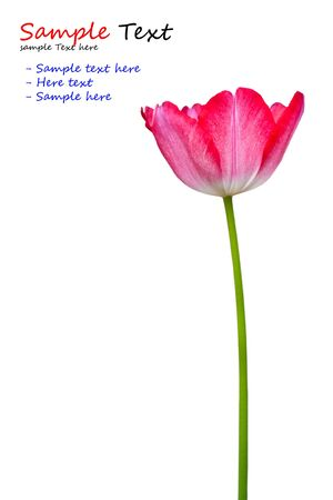 Tulip pink flowers isolated on white background photo