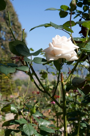 White rose flower in park photo