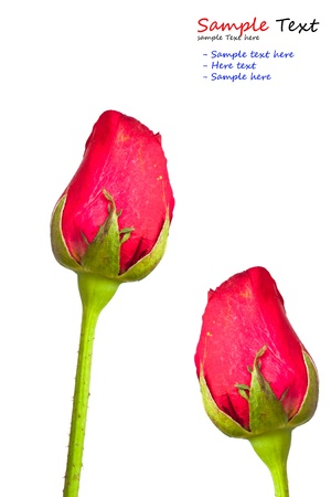 beautiful red rose on a white background  photo