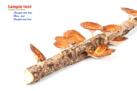 Mushroom on wood isolated on white background photo
