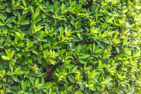shrubs: Ornamental shrubs Wall shrubs in outdoor