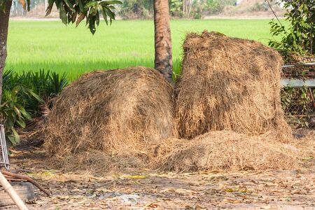 ricefield: pile of straw on ricefield background daytime