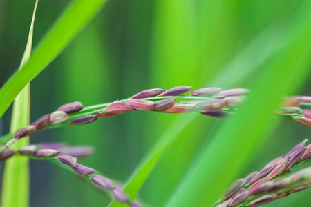 sticky hands: fresh riceberry in ricefield view in thailand