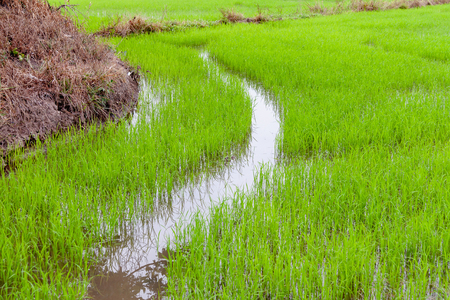 Green rice with water in field for growth up