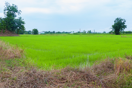 green rice field with group tree on daytime
