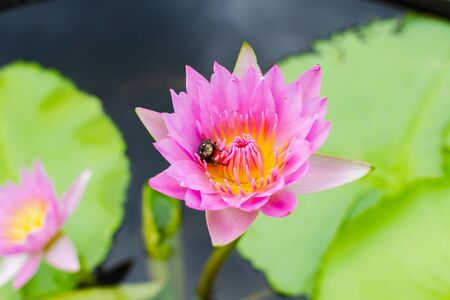 bee on pollen pink lotus in pond 免版税图像