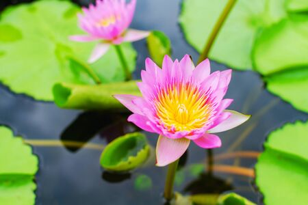 pink Water Lily in pond Banco de Imagens