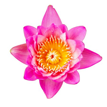 pink Water Lily isolated with white background