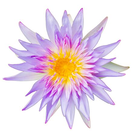 purple lotus call science name is  NYMPHAEACEAE  isolated with white background Banco de Imagens
