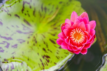 pink royal water lily on water in lake Standard-Bild - 131677688