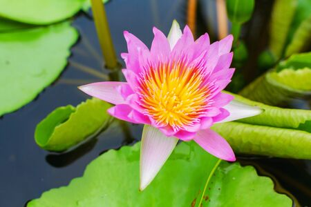 pink royal water lily on water in lake Banco de Imagens