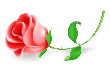 róża: Róża