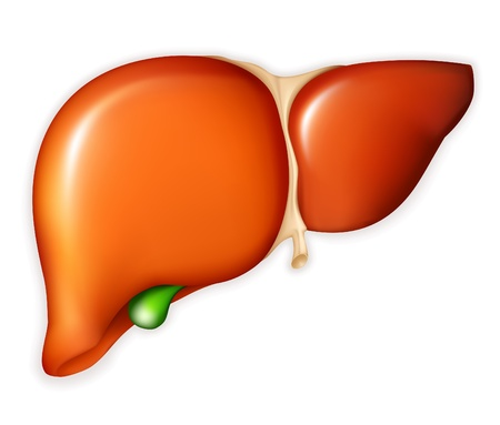 liver organ: Human liver Illustration