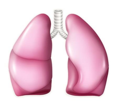 Los pulmones humanos