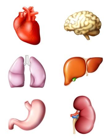 organi interni: Interni organi umani Vettoriali