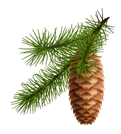 pine branch: Pine cone with branch Illustration