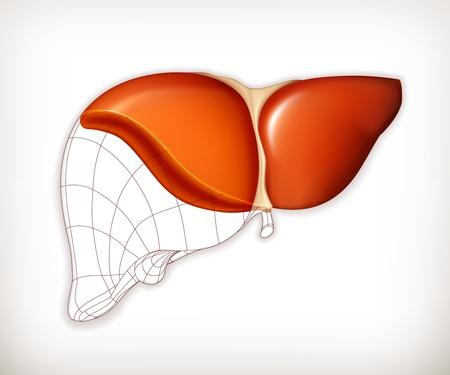 higado humano: Hígado estructura Vectores