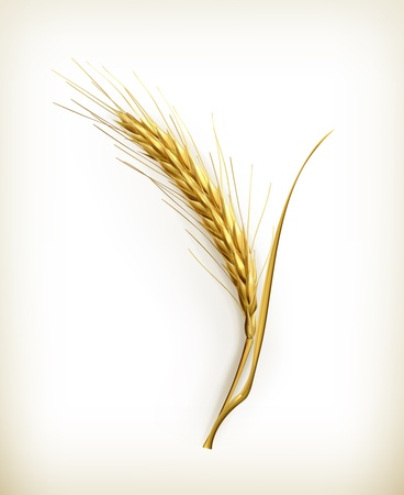 wheat harvest: Ear of wheat