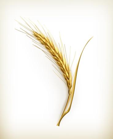 ječmen: Ucho z pšenice