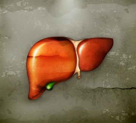 higado humano: Hígado humano, al viejo estilo Vectores