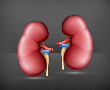 Menschliche Niere Vektorgrafik