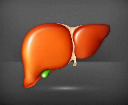bile: Human liver Illustration