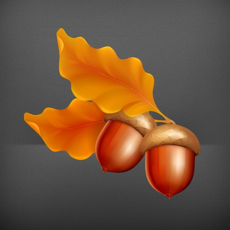 acorn seed: Acorns Illustration
