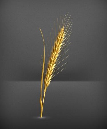 winter wheat: Ear of wheat