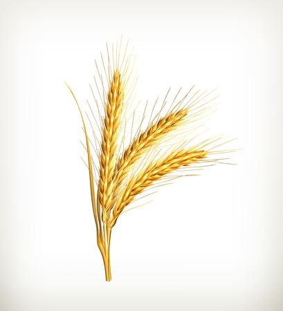 wheat: Ears of wheat