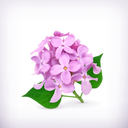 lilac: Lilac flowers Illustration