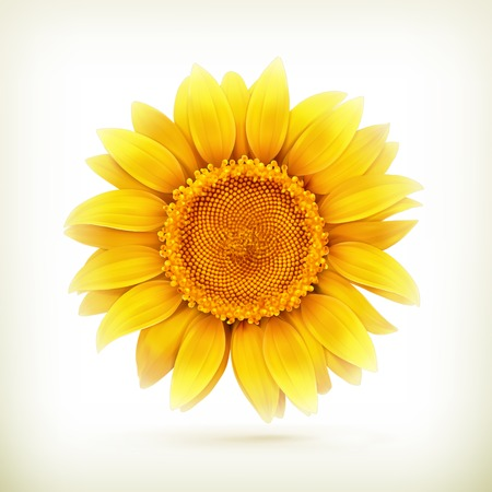 Sunflower, high quality illustration