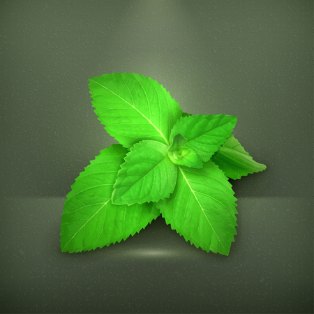 spearmint: Fresh mint leaves illustration Illustration