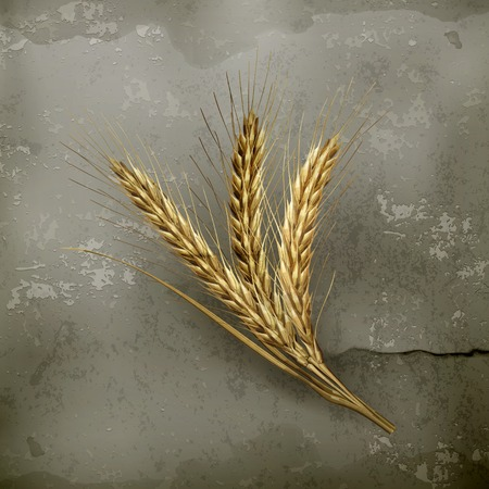 winter wheat: Ears of wheat, old style vector