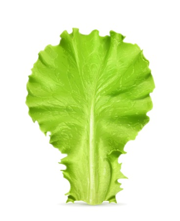 leaf lettuce: Fresh green leaf lettuce, illustration