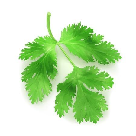 koriander: Friss zöld levelek koriander, illusztráció Illusztráció