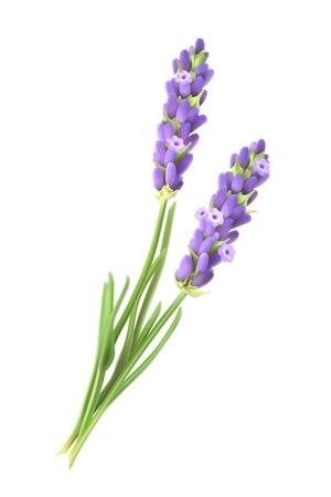 aromatique: fleurs de lavande, illustration vectorielle