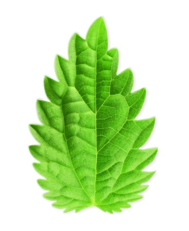 mint: Mint leaf, vector illustration Illustration