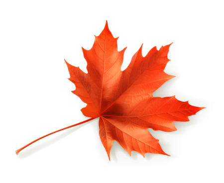 Red maple leaf, vector object