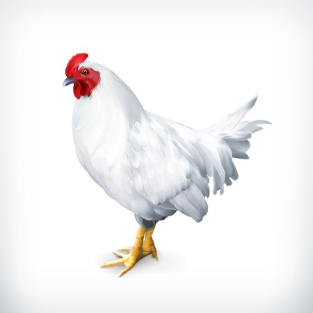 isolated on a white background: White chicken, vector illustration Illustration