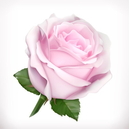 Pink rose vector illustration Illustration